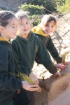 Torquay College students planting the dunes.