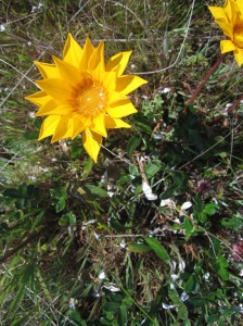 Gazania! Have You Seen this Weed??