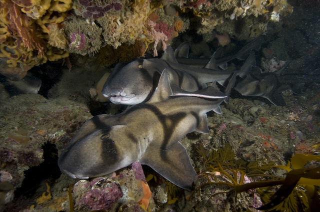Port Jackson Shark ( Photographer Mark Norman)