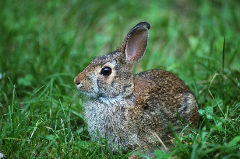 Environmental destructors: the common rabbit in focus