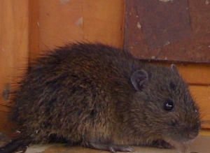 A Swamp Rat caught as part of the investigation