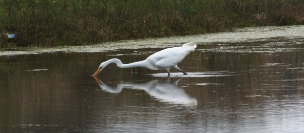 The Great Egret has been spotted at the Spring Creek Estuary recently