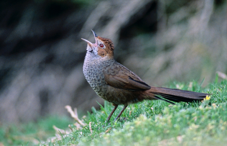 The Rufous Bristlebird