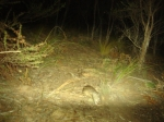 CCMA remote sensor camera capture an image of the Southern Brown Bandicoot between Anglesea and Aireys Inlet.