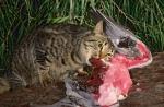 Fearl Cat LD-194 C Jiri Lochman LT
