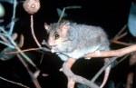 Ring Tail Possum copy