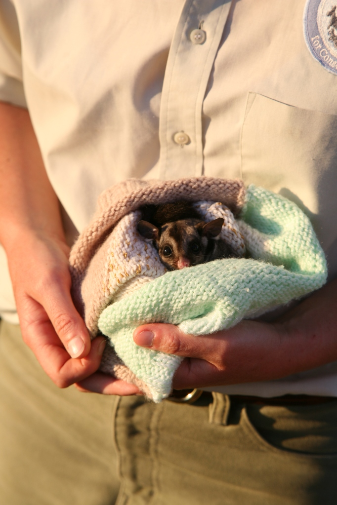 A Sugar Glider in Care at the Conservation Ecology Centre.  Photo by A. Bloomberg.