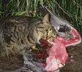 fearl-cat-ld-194-c-jiri-lochman-lt
