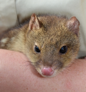 One of the four quoll joeys born at CEC last year. Photo: ALI CORKE