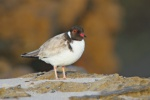 hooded-plover-photo-taken-by-dean-ingwersen2