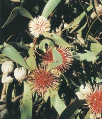 pincushion_hakea (SCShire)