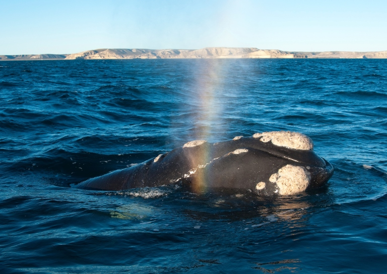 A Southern Right Whale, which are most commonly seen close to the coast in the winter months between June and October.