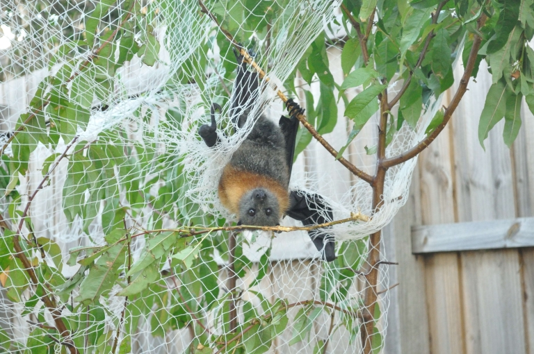 Flying Fox found entangled in fruit netting. Photo courtesy of David Farrington
