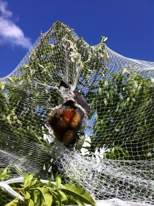 Another Flying Fox trapped in fruit netting. Photo courtesy of Lisa Stigmayer