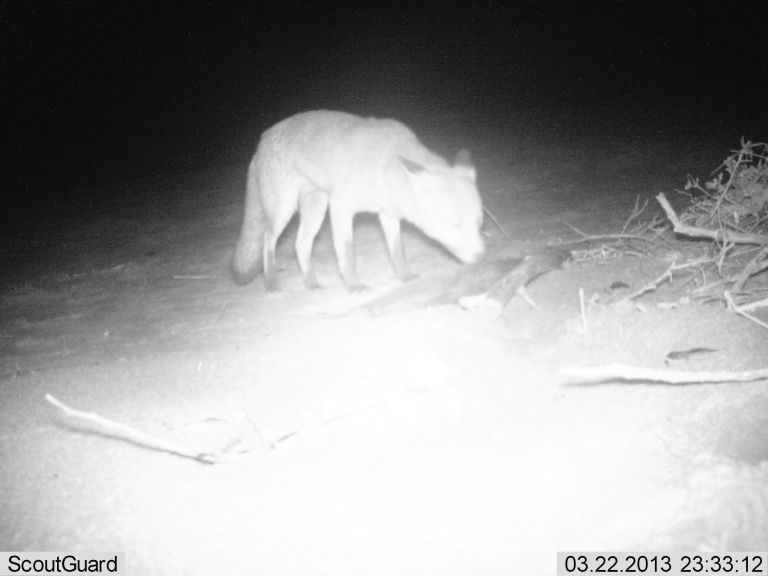 A fox snapped at Wye River in a study investigating scavenger rates along the Surf Coast.