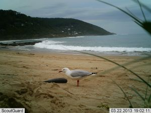 A silver gull was captured on camera at Wye River.