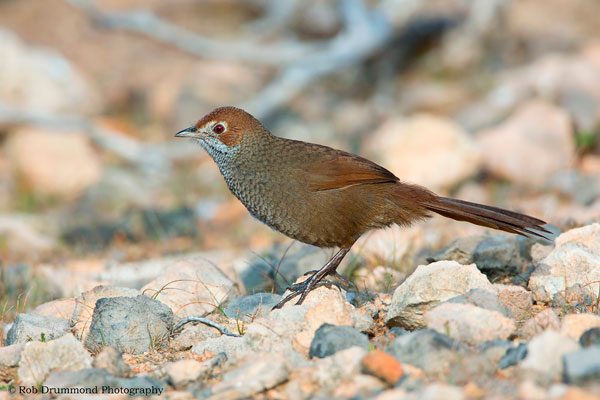 Rufous Bristlebird- Photo courtesy of feathersandphotos.com