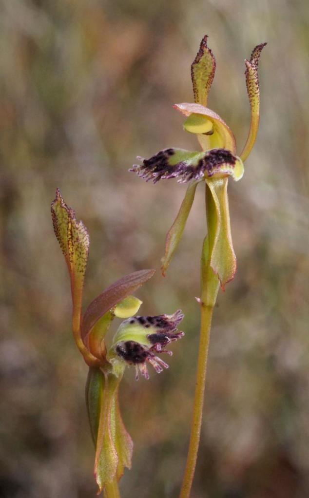 The Fringe Hare Orchid (Leporella fimbriata) sighted in Anglesea, flowering well after fire, is found in sandy soils and flowers mainly from March to May. Photo: Margaret MacDonald