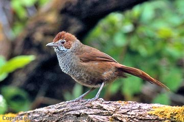 Adult male- Rufous Bristlebird- photo courtesy of Graemechapman.com.au