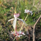 spider-orchid-small