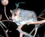 ring-tail-possum-copy