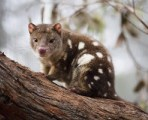 sitting-tiger-quoll-lucia-griggi-300x200