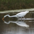 great20egret312