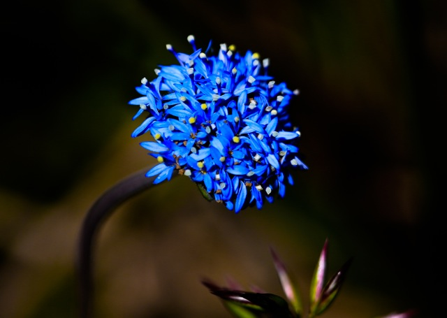 The blue pincushion, one of the many examples on display at this year's Anglesea Wildflower Show. Photo: REBECCA HOSKING