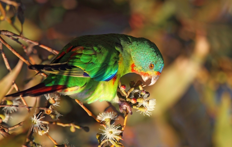 The endangered Swift Parrot can seen along the Surf Coast when it migrates from Tasmania between Mar-Jun each year. Photo: Chris Tzaros