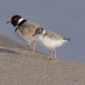 11492_hooded-plover-chicks-pt-roadnight1