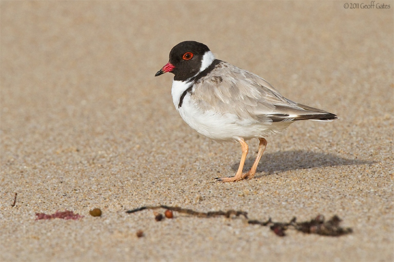 Hooded plovers, like this one seen at Point Roadknight, are in the midst of breeding season. Photo: GEOFF GATES.