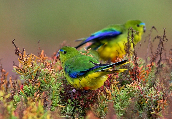 Photo: BirdLife Australia