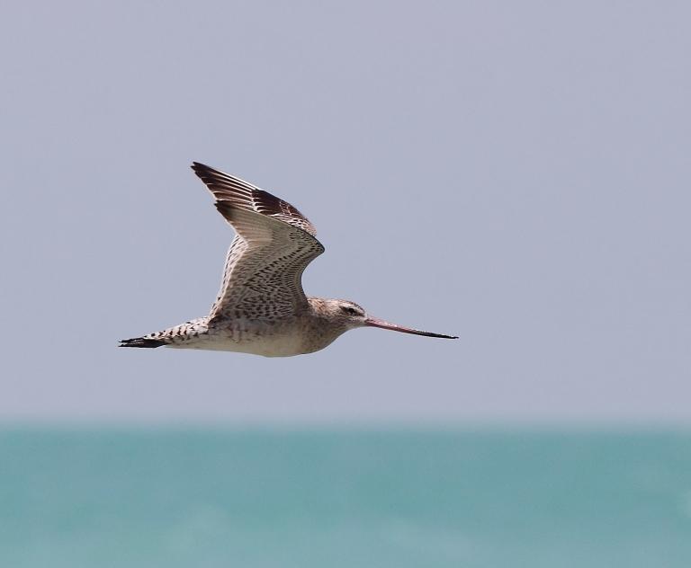 The Bar-tailed Godwit. Photo: Andrew Silcocks/BirdLife Australia
