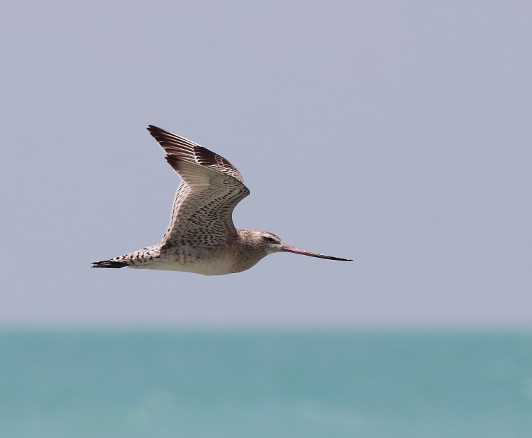 The Bar-tailed Godwit. Photo: Andrew Silcocks/BirdLife Australia