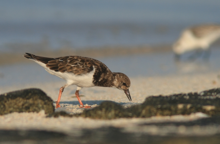 The Ruddy Turnstone Photo: Andrew Silcocks/BirdLife Australia