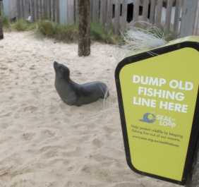Marine animals such as seals come in to close contact with harmful marine debris. Picture: Zoo's Victoria.