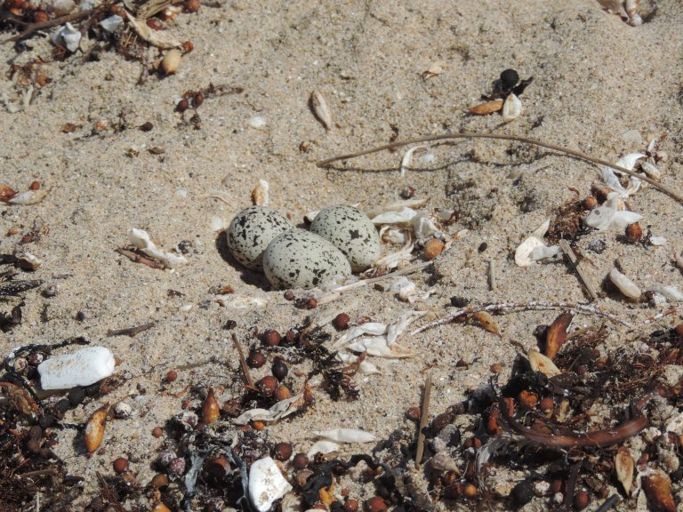 Hooded Plovers nest on the beach and their eggs are very vulnerable to multiple threats, including dogs, feral pests.  The eggs are small and humans can tread on them or scare away 'Hoodie' parents.