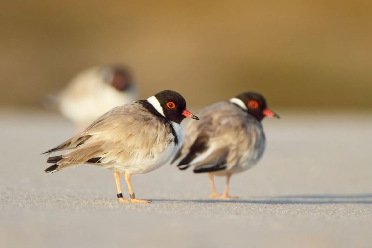 Adult hooded plovers: Photo: Dean Ingwerson