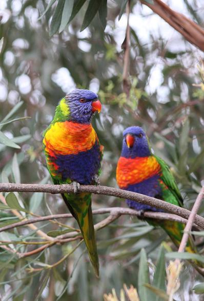 Rainbow Lorikeet Credit - Andrew Silcocks - BirdLife Australia