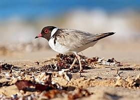 Photo: BirdLife Australia