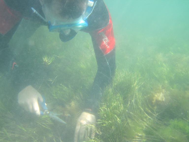 Dr Paul York cutting  seagrass sample for research. Photo: Tim Smith