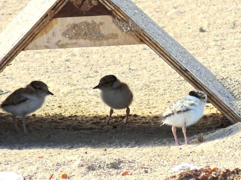 Volunteers built huts to shelter nesting hooded plovers at Eastern View.