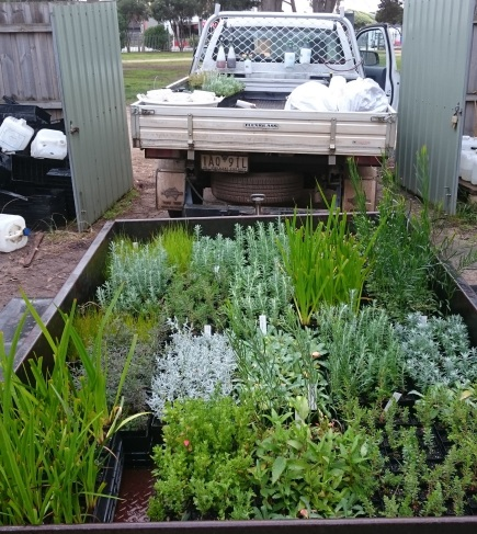 The Indigenous plants at the start of the day, just waiting to be planted.