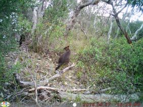 A Swamp (Black) Wallaby was spotted in September this year. It is a common animal that lives along the East-coast of Australia. The swamp wallaby is different enough from other wallabies that it is placed apart in its own genus, Wallabia.