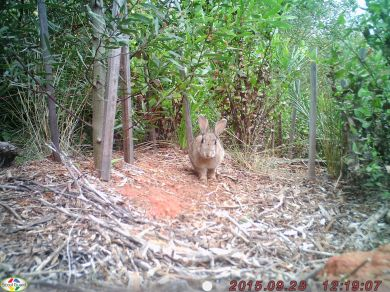 A rabbit poses for the infrared cameras at Soapy Rocks, Anglesea. Rabbits are an introduced species to Australia and are very destructive to the natural environment.