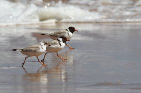 A Hooded Plover family with a juvenile. See the presence of the white nape, and the difference in colour.  Photo credit: Frankzed.