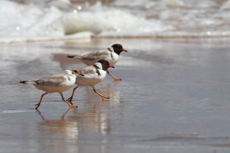 Hooded Plover family - Frankzed (Flikr must credit)