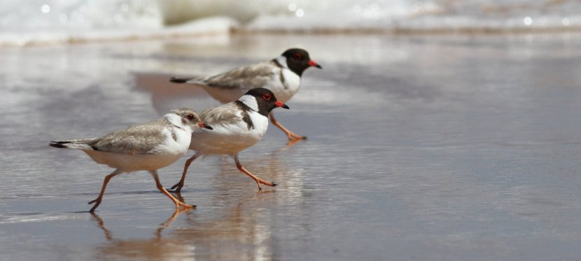 Know your plovers