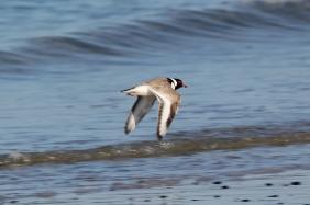 Hooded Plover in flight. Photo: Frankzed.