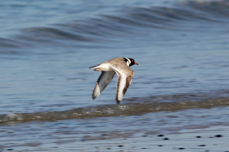Hooded Plover in Flight - Frankzed (Flikr user)